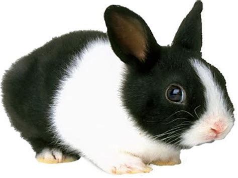 black and white rabbit wallpaper black and white rabbit cute wallpaper 10851 wallpaper