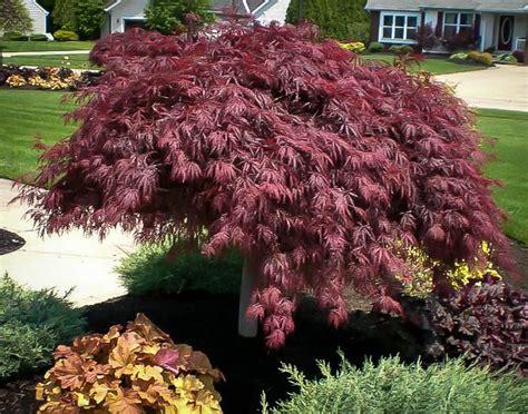 crimson queen japanese maple for sale online the tree center