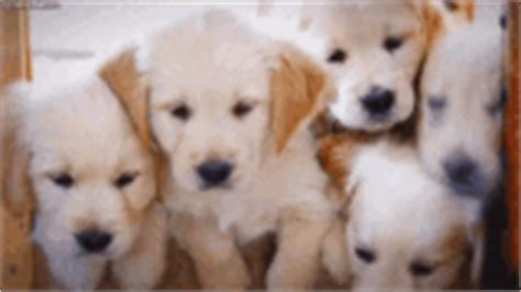 puppies gif goldenretriever puppy gif goldenretriever puppy sleep discover gifs