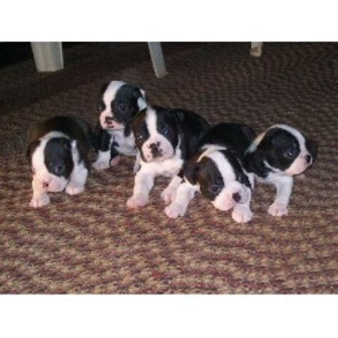 boston terrier puppies for sale in wv boston terrier breeders in west virginia freedoglistings