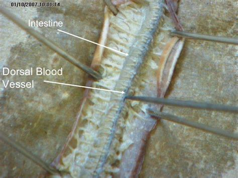 earthworm dissection ventral nerve cord earthworm dissection 001
