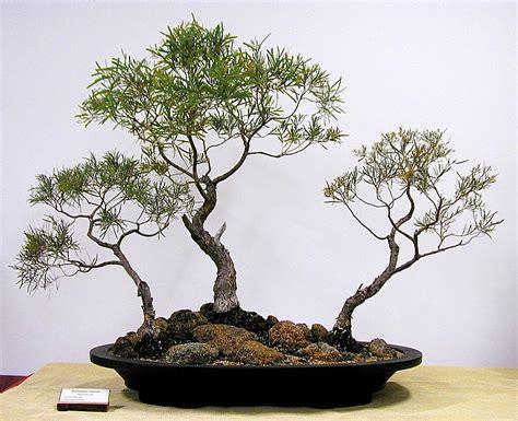 bonsai from native trees australian native plants as bonsai 2008