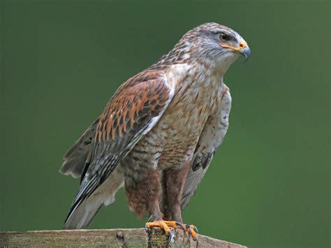 type of hawks in tn file ferruginous hawk rwd3 jpg
