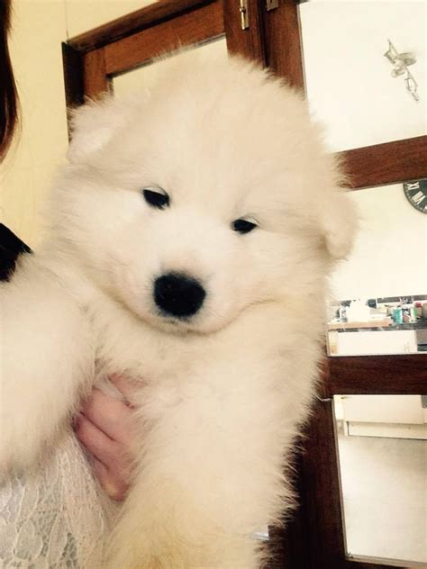 looking for puppies beautiful samoyed puppies looking for forever home glossop derbyshire pets4homes
