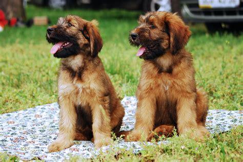 briard puppy plik briard r 01 puppy jpg wolna encyklopedia