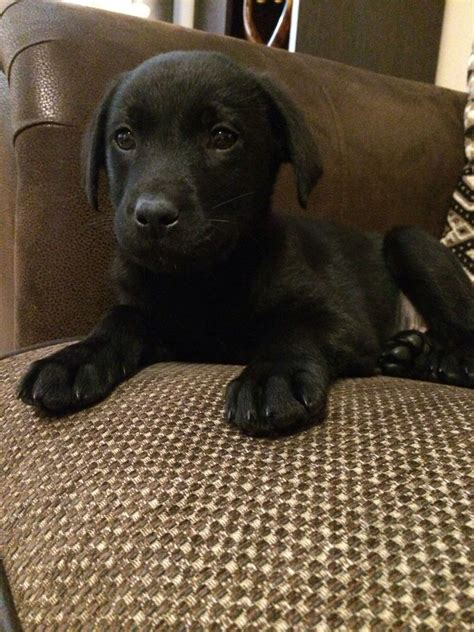 9 week puppy black labrador puppy 9 weeks cheltenham gloucestershire pets4homes