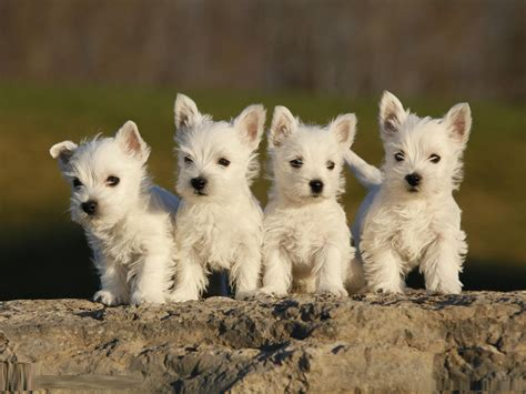 westie breed west highland white terrier breed pictures information temperament