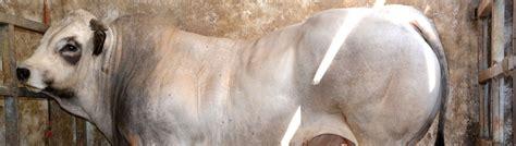 alimentazione conigli da carne bio vit nutrizione e soluzioni zootecniche per bovini da