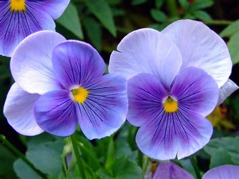 imagenes de flores llamadas violetas violeta aprende como cuidar cultivar reproducir y m 225 s