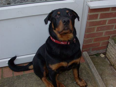 rottweiler for sale rottweiler for sale norfolk pets4homes