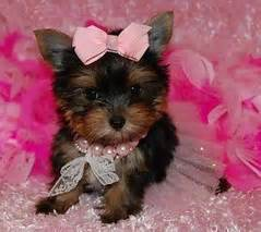 teacup yorkie rescue ct pets free classified ads