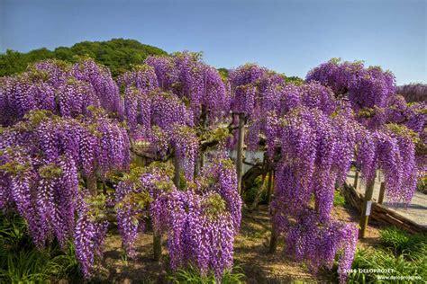 ashikaga flower park deloprojet ashikaga flower park paradise flower