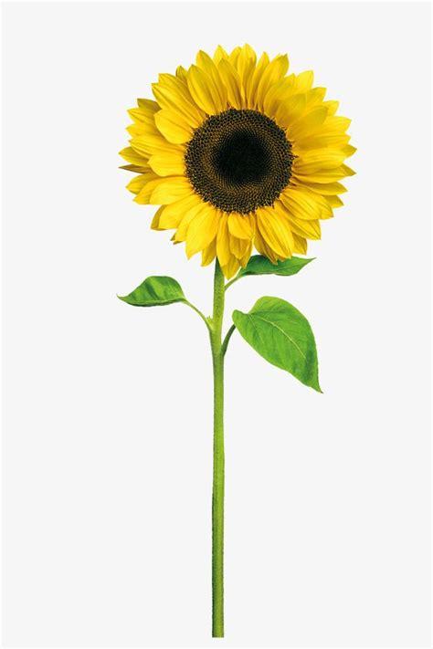 sunflower sunflower clipart yellow png transparent