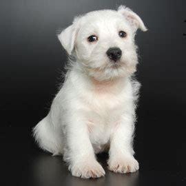 just puppies net lhasa poo corgi mix photos breeds picture