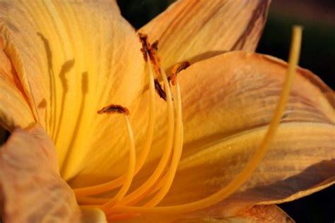 wann lilien pflanzen lilien 187 pflanzen pflegen vermehren und mehr