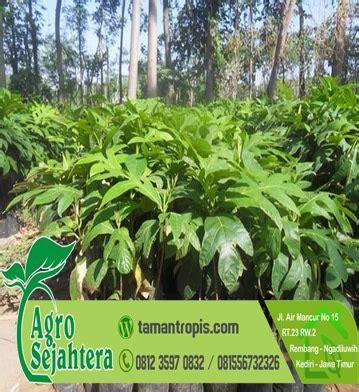 Harga Bibit Sengon Solomon 2018 jual bibit pohon sukun
