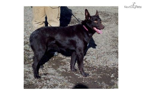 australian kelpie puppies for sale australian kelpie puppy for sale near bend oregon 738471b1 9d01
