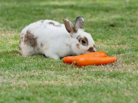 vegetables a rabbit can eat can rabbits eat carrots are carrots for them apr