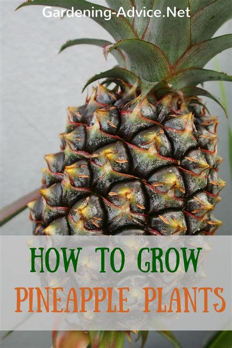 how to house a grown how to grow a pineapple plant as a houseplant