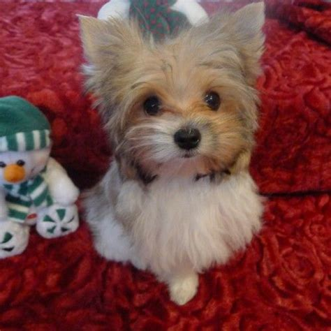 parti yorkies for sale in tennessee best 20 parti yorkies for sale ideas on yorkie dogs for sale dogs