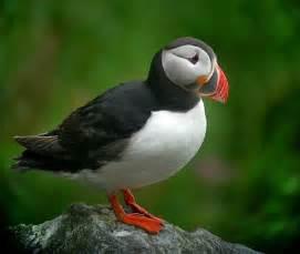 cool critters atlantic puffin fratercula arctica the