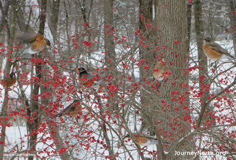 overview overview what do robins eat in the wintertime