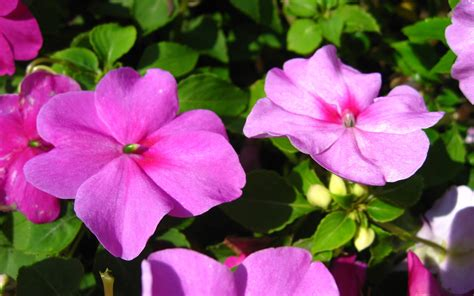Flowers Impatiens - impatiens plantinfo everything and anything about