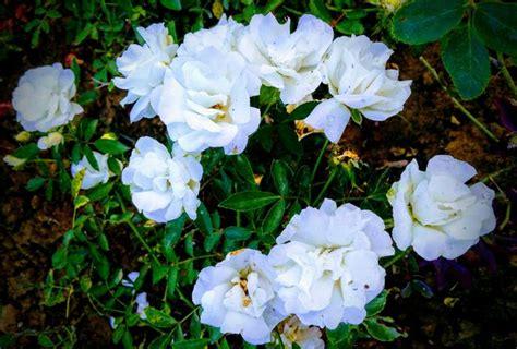 bunga mawar putih  cantik