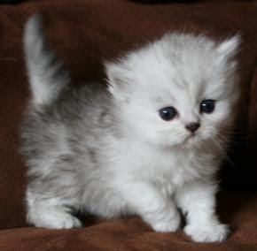 cuccioli persiani in regalo regalo cuccioli persiani roma prossimi saldi di steam