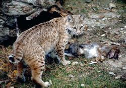 Nesting Panci Cing By Den bobcats living with wildlife wildlife human issues
