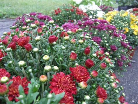 when to plant garden mums hgtv