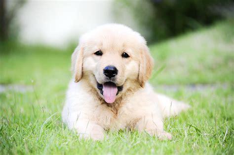 golden retriever bebe 15 b 233 b 233 s golden retriever qui vont vous faire fondre choisir chien wamiz