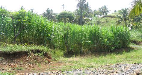 Bibit Rumput Gajah Di Makassar kumpulan budidaya budidaya rumput gajah
