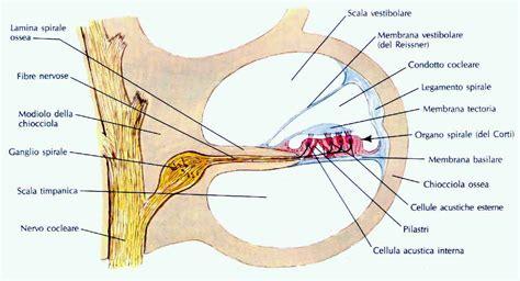 labirinto orecchio interno condotto cocleare