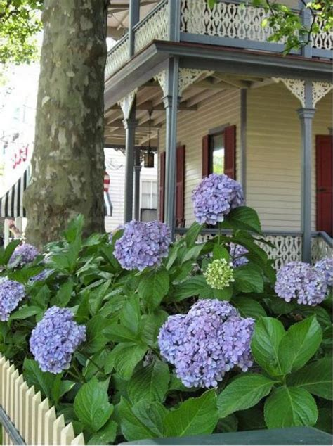 big balls  hydrangea flowers  purple color  front   victorian housejpg  comment
