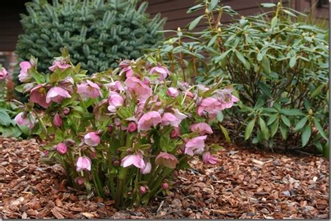 new hellebore flowers hold their heads high north coast