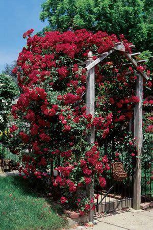 don juan climbing rose smoky lavender  rusty red