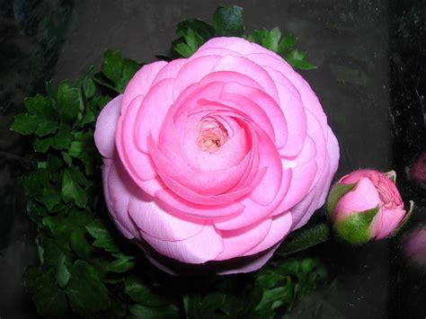 fiori ranuncoli ranuncolo rosa foto immagini piante fiori e funghi