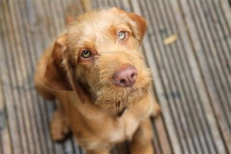 wirehaired vizsla puppies wirehaired vizsla wallpapers hd