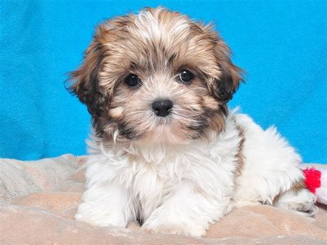 bichon and shih tzu mix bichon frise shih tzu mix breeds picture