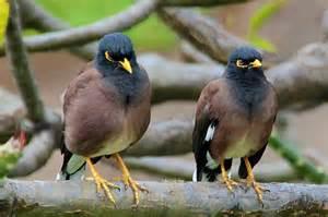mynah bird location appearance breeding pet facts etc