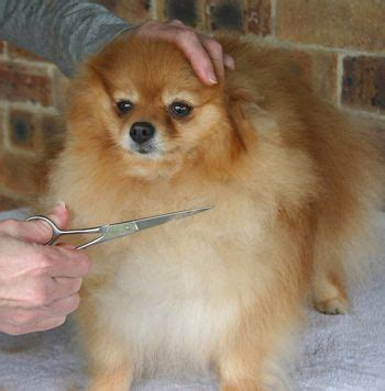 clipping pomeranians best 25 pomeranian haircut ideas on pomeranian hairstyles pomeranian