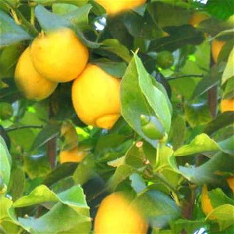 tree origination italian lemon botanical essence inspired origination