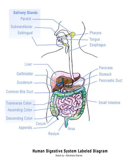 interactive digestive system diagram 25 best ideas about human digestive system on