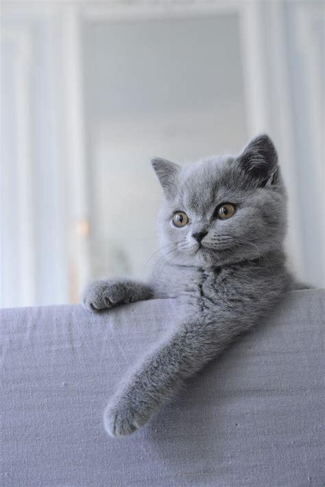 shorthair cat mon shorthair