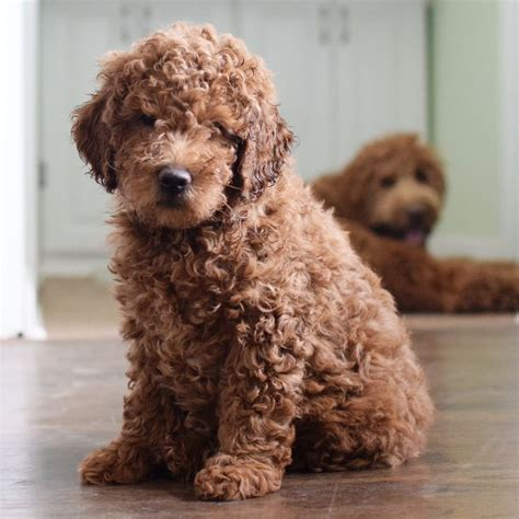 doodle puppy types 25 best ideas about mini goldendoodle on mini