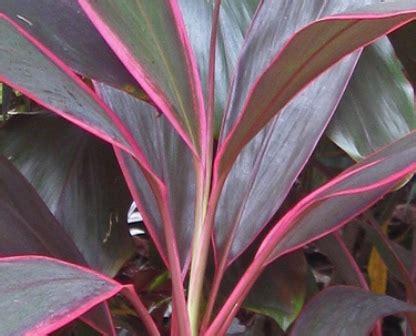 Daun Hanjuang 11 khasiat daun hanjuang untuk kesehatan dan kecantikan khasiat