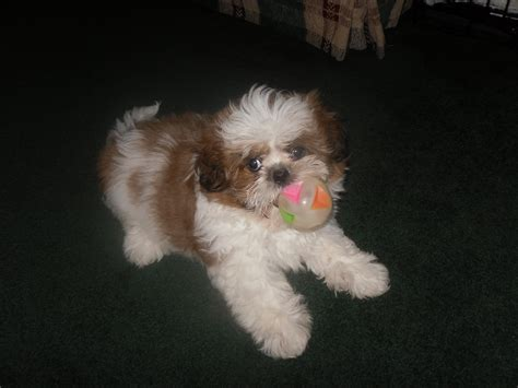 dieter shih tzu ruby s boy joey has found a new forever home w his new family in wi