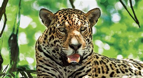 jaguars photos worth defending jaguar defenders of wildlife