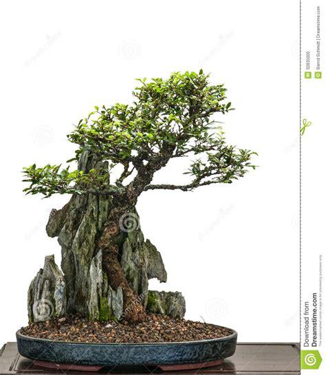 bonsai elm tree zelkove nire is growing a rock
